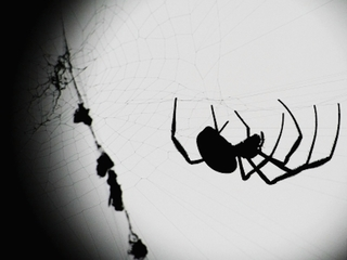City-dwelling spiders are bigger, more fertile