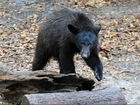 Florida might legalize black bear hunting