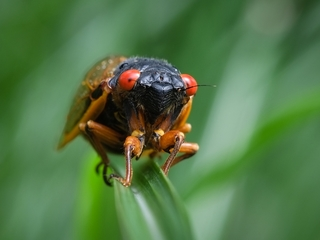 Cicadas are showing up early in Maryland