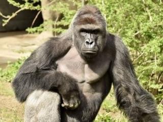 Cincinnati Zoo kills gorilla to save boy