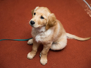Why are male dogs losing their fertility?