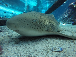 Leopard shark gives birth without a male