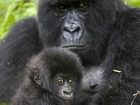 Many primate species face threat of extinction