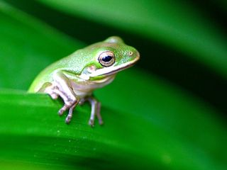 What makes a frog's tongue so sticky?