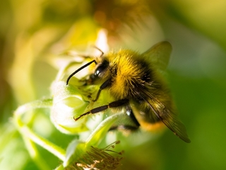 Bumblebees can learn new skills