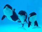 China opens orca breeding center