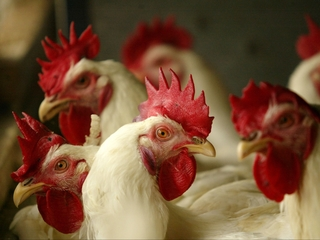 DNA proves fast-food chicken isn't all chicken
