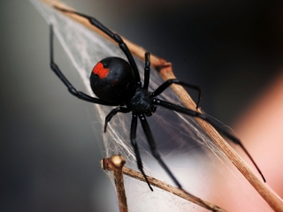 Spiders could eat every human on Earth
