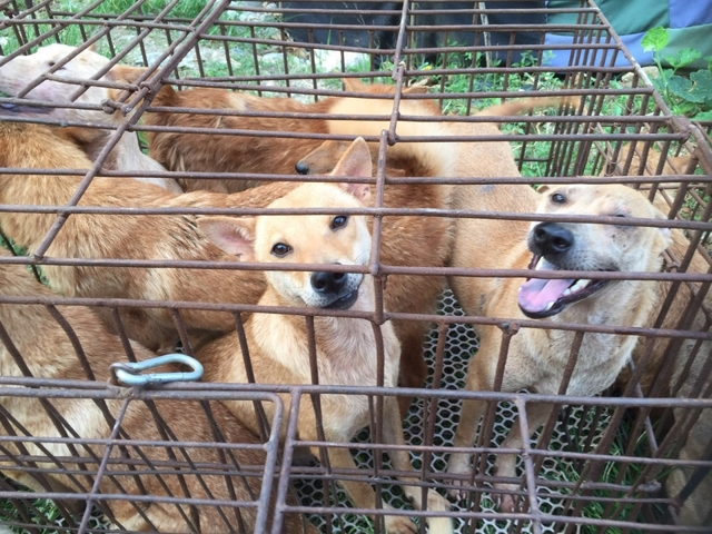 China: Activists rescue 1000 dogs, cats ahead of Yulin festival