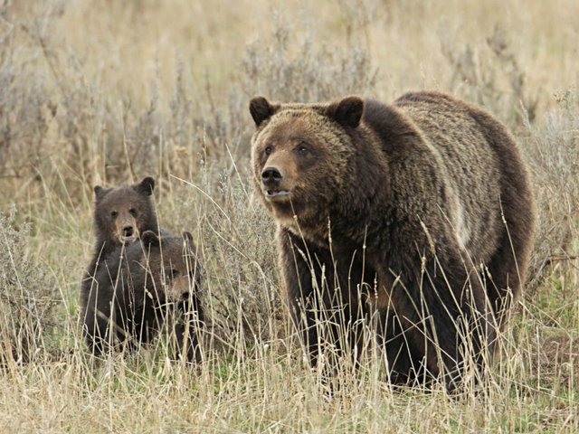 Greens sue to stop rollback of Yellowstone grizzly protections