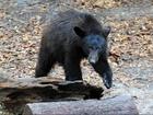 Florida might legalize black bear hunting
