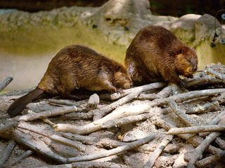 Pittsburgh Zoo to introduce 6 baby beavers